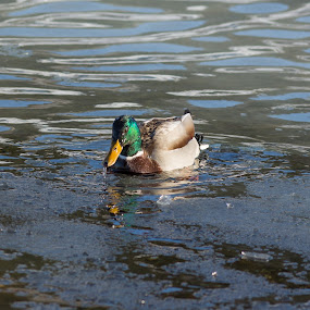 Duck by Benny Høynes - Animals Birds ( bird, mallard, bath, duck, norway,  )