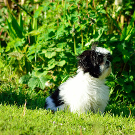 Watching by Billy Kennedy - Animals - Dogs Puppies ( sitting, grass, black and white, puppy, garden )