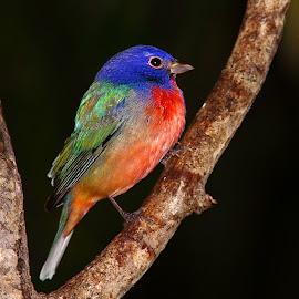 Multicolor bird by Gérard CHATENET - Animals Birds