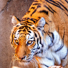 by Carol Plummer - Animals Lions, Tigers & Big Cats