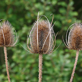 Teasel Trio by Chrissie Barrow - Nature Up Close Other Natural Objects ( seedheads, teasels, nature, green, brown, closeup )