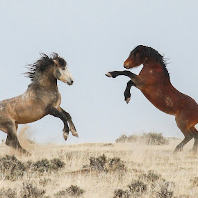 Wild and free by Brandi Nichols - Animals Horses ( wild horse, stallions, wyoming, horse,  )
