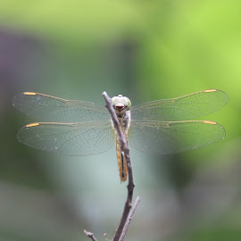 Clear winged Dragonfly by Nikhil Panchal - Animals Insects & Spiders ( dragonfly, wildcity, macro photography, powai lake, indian dragonfly, beauty in nature, wildlife )