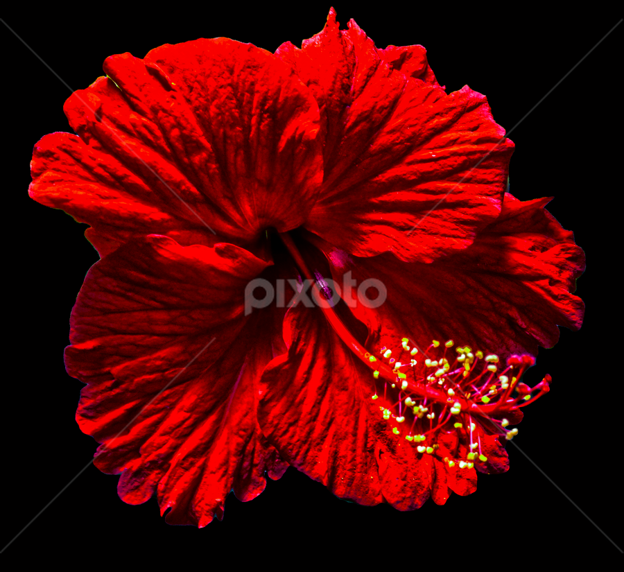 by Mark Pelkey - Nature Up Close Flowers - 2011-2013 ( red, black background, flower )