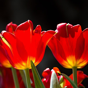 Bulbous Bloom by Deepa Sarathy - Nature Up Close Flowers - 2011-2013 ( tulip,  )
