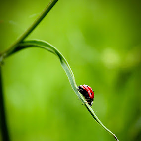 Coccinellidae by Gregor Znidarsic - Landscapes Forests ( field, macro, nature, green, ladybird )