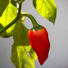 Pepper by Sam Long - Nature Up Close Gardens & Produce ( macro, color, hot, pepper, vegetable, produce,  )