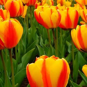 Tulips 2 by Vijay Govender - Flowers Flower Gardens
