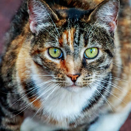 Calico green eyes by Leah N - Animals - Cats Portraits