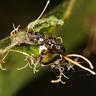 Infected unknown ant