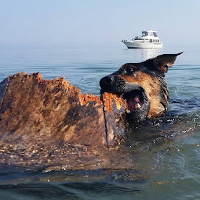 DlOG Shark  by Anthony Carlo - Animals - Dogs Playing (  )