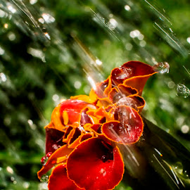 In the rain by Soyam Chhatrapati - Abstract Water Drops & Splashes ( macros, macro, macrophotography, micro, macro photography, drops, marigold )