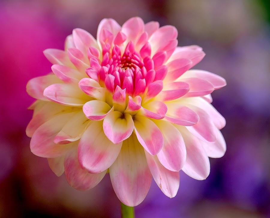 Pink Dahlia #7 by Jim Downey - Flowers Single Flower ( red, pink, dahlia, yellow, purple )