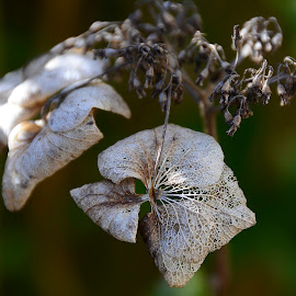 Overblown Hydrangea by Wendy Faber - Novices Only Macro
