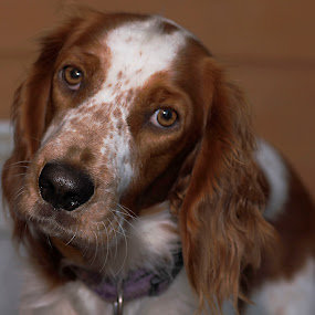 What Me? by Mandy Harvey - Animals - Dogs Portraits ( home, animals, pets, furbaby, welsh springer spaniel, dog, photography )