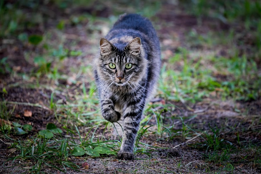 Hunting... by Rodney Rodriguez - Animals - Cats Portraits
