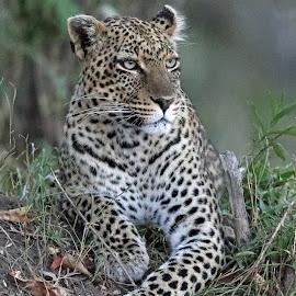 Relaxed! by Anthony Goldman - Animals Lions, Tigers & Big Cats ( big cat, wild, predator, nature, serengeti, wildlife, tanzania, femlae, leopard, east africa )