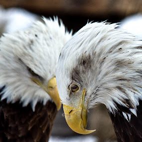The Eagles by Amber Johnston - Animals Birds