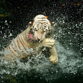 Tigers Splash by Alit  Apriyana - Animals Other Mammals