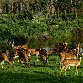 Paradise by Vinodh Surendran - Animals Amphibians ( india, deer )