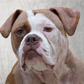 Baby Mama - Shelter Dog by Alan Wlasuk - Animals - Dogs Portraits ( bull dog, rescue dog, shelter, shelter dog, dog )