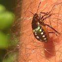 Southern Green Stinkbug