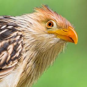 Guira Cuckoo Stare by Judy Rosanno - Animals Birds (  )
