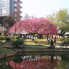Sakura by Reginaldo Levinski Da Silva - City,  Street & Park  Street Scenes ( nature, pixoto, sakura, blossom )
