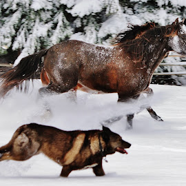 Best Friends  by Beck Seibel - Animals Horses ( mustang, wolfdog )
