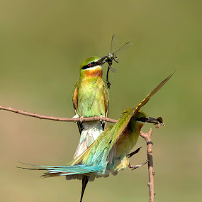 BEE EATERS by Subramanniyan Mani - Animals Birds