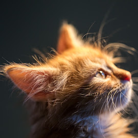 Pernille by Espen Rune Grimseid - Animals - Cats Portraits ( kitten, closeup, cat, animal, canon )