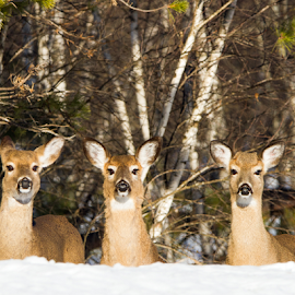 What time does the show start? by Lloyd Alexander - Animals Other Mammals ( wild, lloyd alexander, winter, nature, wildlife, trio, natural, deer )