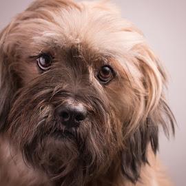 Rocky the Depressor by Carmen Gunther - Animals - Dogs Portraits