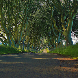 The Dark Hedges,Co Antrim by Mike Looby - Landscapes Forests