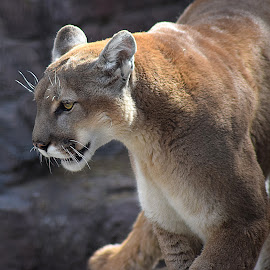 Mountain Lion by Shawn Thomas - Animals Lions, Tigers & Big Cats ( cat, cougar, wildlife, puma, mountain lion, feline )