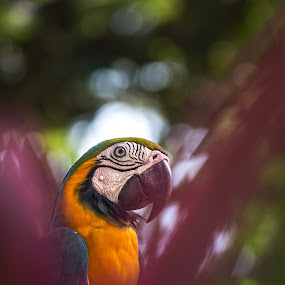 Macaw by Brothers Photography - Animals Birds ( bird, wild, nature, wildlife, animal, macaw )