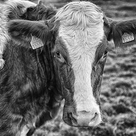 by Marco Bertamé - Black & White Animals ( spotting, furry, ears, cow, 1555, number )