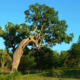 Gutted Oak  8517 by Jim Suter - Nature Up Close Trees & Bushes (  )