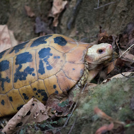 Turtles by Nazneen (voiceofcamera.com) - Animals Reptiles ( nazneen, wild turtle, voiceofcamera.com, corbett turtle, wild reptile, turtles, turtle in wild, reptile )