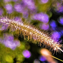 Fountain Grass Blast by Scot Gallion - Nature Up Close Leaves & Grasses