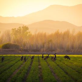 Cibola National Wildlife Refuge by Gannon McGhee - Landscapes Prairies, Meadows & Fields ( refuge, mule, national, arizona, cibola, wildlife, deer )