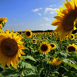 A Field of Sunshine by Kent Moody - Landscapes Prairies, Meadows & Fields ( blue sky, green, sunflowers, yellow, flowers )