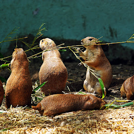 Lunch Time by Kristin Patota - Animals Other Mammals ( prairie dogs )