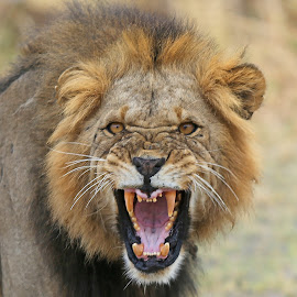 I am coming for you by Anthony Goldman - Animals Lions, Tigers & Big Cats ( big cat, wild, predator, lion, tarngire, nature, male, angry, wildlife, tanzania, teeth, east africa )