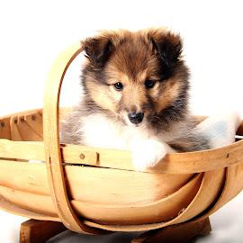 Little Henry by Jenefer Zeitsch - Animals - Dogs Puppies