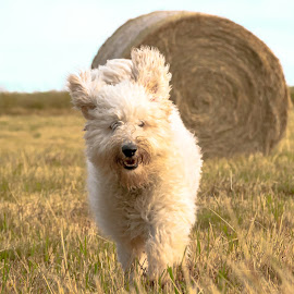 Bailing Out by Lizzy MacGregor Crongeyer - Animals - Dogs Puppies ( playing, countryside, field, happy, bales, golden doodle, running )