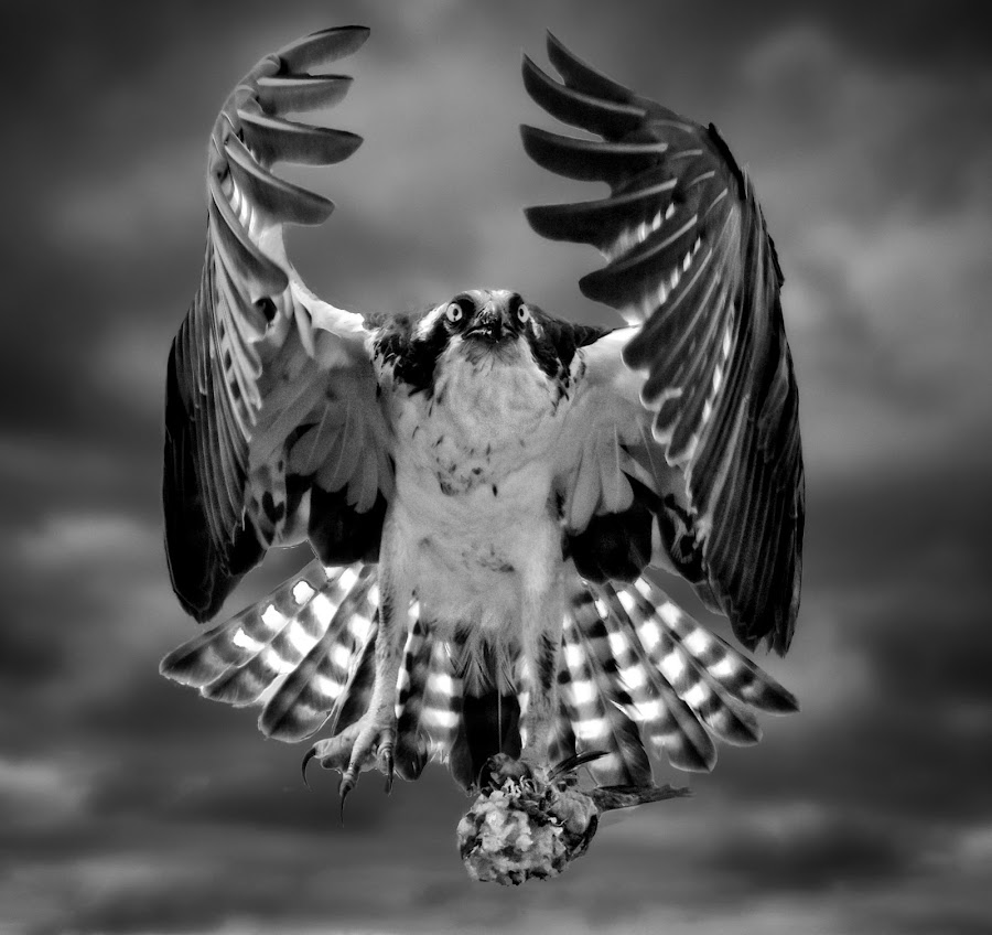Osprey with fish by Sandy Scott - Digital Art Animals ( black & white, flight, prey, nature, osprey, birds, raptors, seahawk, birds of prey, wings, feathers, animals, osprey in flight, wildlife )