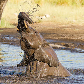 Play in the pool by Bridgena Barnard - Animals Other Mammals ( elephant, barnard, images, bridgena )