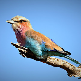 Lilac-breasted Roller by Pieter J de Villiers - Animals Birds