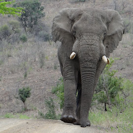 Elephant walking down road by Tim Brown - Animals Other ( african elephant, nature, wild animals, african safari, elephant, safari, nature close, durban tours, africa )